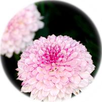 菊の花 画像